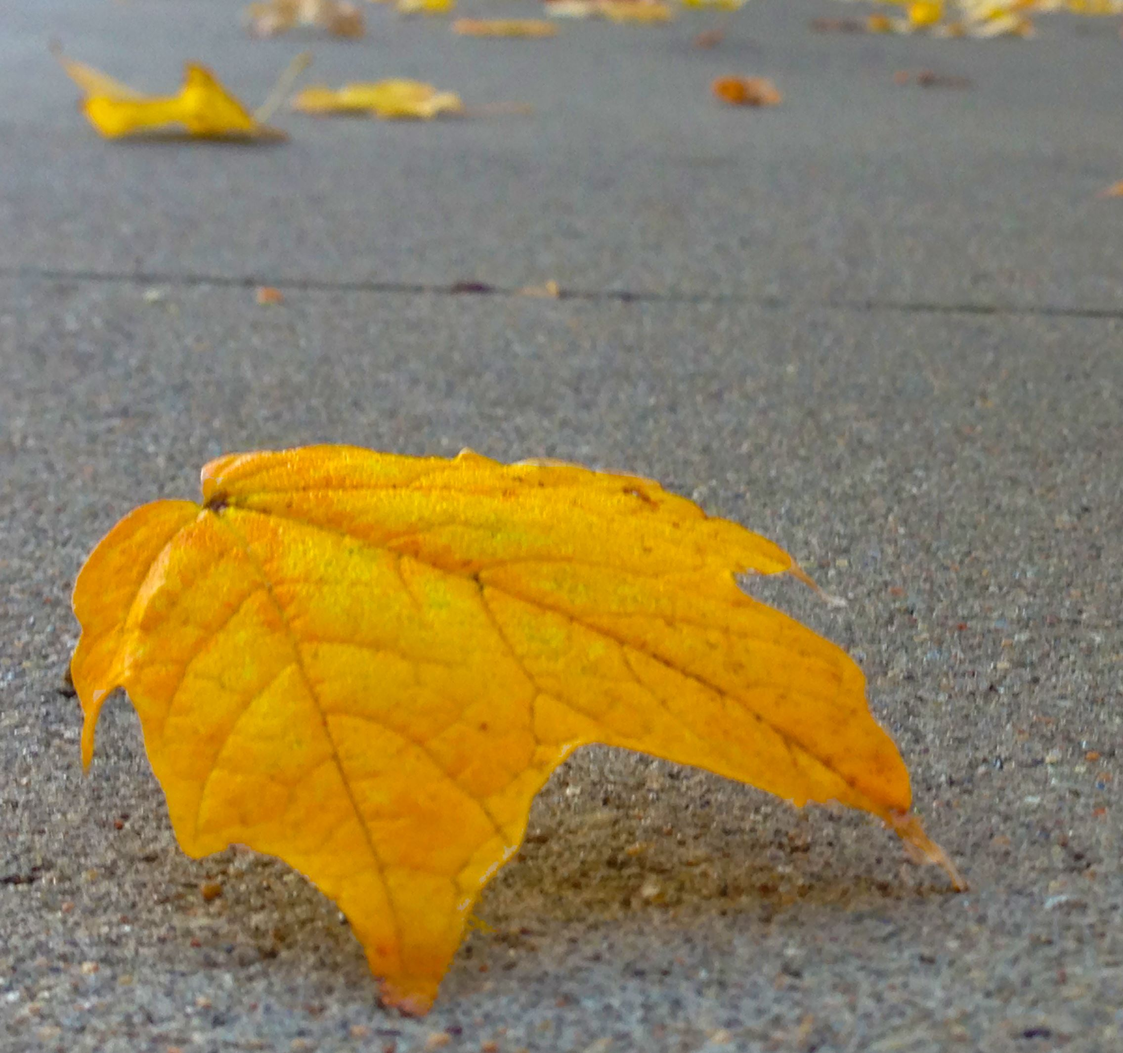 Golden Fall leaf on gray sidewalk.