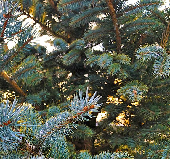 Branches on a blue spruce