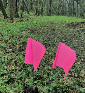 Woodland with two pink flags marking trail